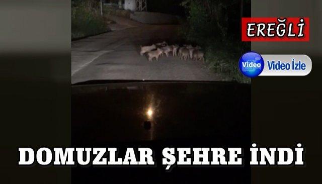Yavru domuzlar mahallede cirit attı