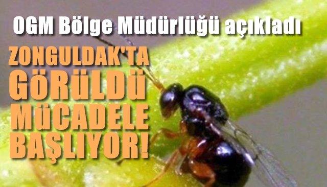 Zonguldak'ta da Kestane ağaçlarına zarar veren Gal Arısı görüldü…  OGM mücadele hazırlığında...