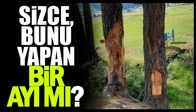 Çıra için ağaçları yaraladılar!