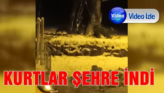 KURTLAR ŞEHRE İNDİ