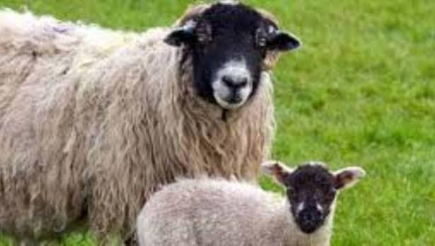 Arı ve koyun yetiştiricilerine destek