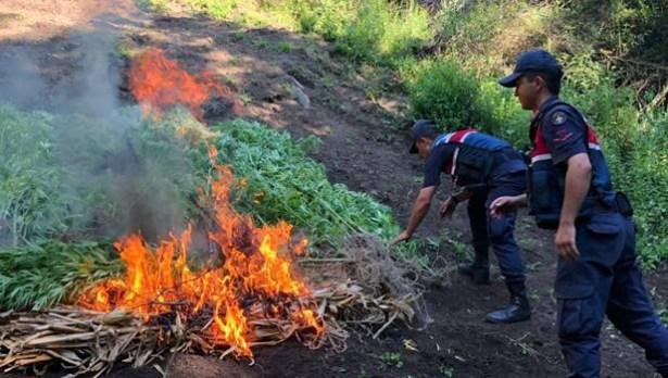Jandarma 550 kök Hint kenevirini yakarak imha etti